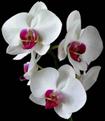 Kỹ thuật trồng hoa lan giống Phalaenopsis (Hồ Điệp)