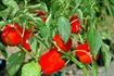 Kỹ thuật trồng cây ớt ngọt an toàn