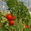 Kỹ thuật trồng cà chua ghép trái vụ ở đồng bằng sông Hồng