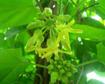 Kỹ thuật trồng và chăm sóc hoa Thiên lý