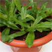 Hướng dẫn cách trồng rau ngò gai tại nhà
