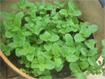 Hướng dẫn cách trồng rau húng lũi tại nhà