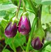 Cách trồng cà tím an toàn