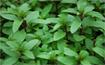 Kỹ thuật trồng rau húng quế