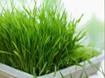 Hướng dẫn cách trồng cây sả tại nhà
