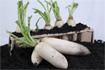 Hướng dẫn trồng củ cải trắng