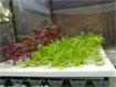 Kỹ thuật trồng rau thủy canh