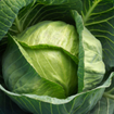 Kỹ thuật trồng cải bắp