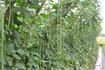 Kỹ thuật trồng đậu đũa lùn
