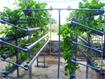 Quy trình kỹ thuật sản xuất rau thủy canh tuần hoàn