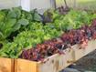 Tập trồng rau tại nhà như chuyên gia