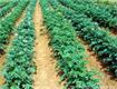 Cách trồng khoai tây an toàn