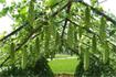 Kỹ thuật trồng mướp đắng