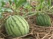 Hướng dẫn trồng dưa hấu an toàn