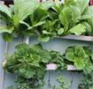 Hướng dẫn trồng rau ăn lá tại nhà