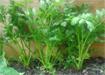 Kỹ thuật trồng cần tây