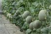 Kỹ thuật trồng dưa lê vân lưới