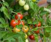 Hướng dẫn trồng rau ăn trái tại nhà