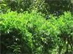 Kỹ thuật trồng cây rau ngót
