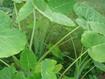 Cách trồng cây dọc mùng tại nhà