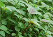 Kỹ thuật trồng cây rau dền lá hến