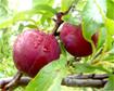 Kỹ thuật trồng và chăm sóc cây mận