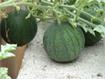 Kỹ thuật trồng dưa hấu không hạt