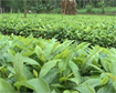 Kỹ thuật trồng cây mỡ