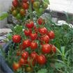 Kỹ thuật trồng và chăm sóc cà chua bi