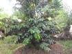 Kỹ thuật trồng và chăm sóc cây vú sữa