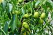 Kĩ thuật trồng cóc Thái