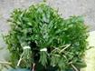Hướng dẫn kỹ thuật trồng và chăm sóc cây rau sắng