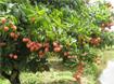 Kỹ thuật trồng và chăm sóc cây vải thiều Thanh Hà