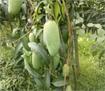 Kỹ thuật trồng xoài Thái