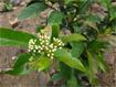 Kỹ thuật trồng cây xạ đen
