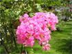 Cách trồng và chăm sóc hoa tường vi cánh mỏng