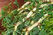 Kỹ thuật trồng và chăm sóc rau nhút