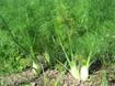 Kỹ thuật trồng và bón phân cho cây thì là