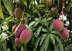 Kỹ thuật trồng cây xoài Úc