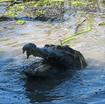 Giáo án Bắt cá sấu rừng U Minh Hạ