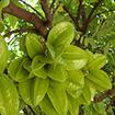 Công dụng trị bệnh của lá, hoa và quả khế