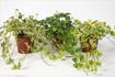 Các loại cây cảnh giúp hút khí độc, bảo vệ sức khỏe
