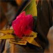 Lễ Vu Lan báo hiếu và ý nghĩa bông hồng cài ngực áo
