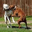 """Bí kíp thoát thân """"hữu dụng"""" khi bị chó dữ tấn công"""