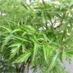 Những bài thuốc quý từ cây đinh lăng