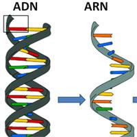 Giáo án Sinh học 9 bài Mối quan hệ giữa gen và ARN