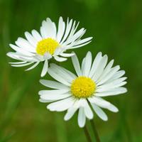Hoa cúc sơ phong tiết nhiệt, phòng chống cảm cúm
