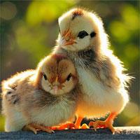 Giáo án lớp chồi đề tài Hai anh em gà con