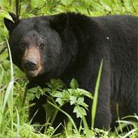 Giáo án mầm non đề tài: Kìa bác gấu đen