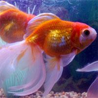 Giáo án mầm non đề tài: Con cá vàng